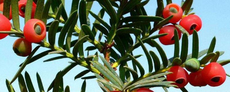 红豆杉怎么配土