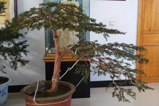 红豆杉盆景造型步骤