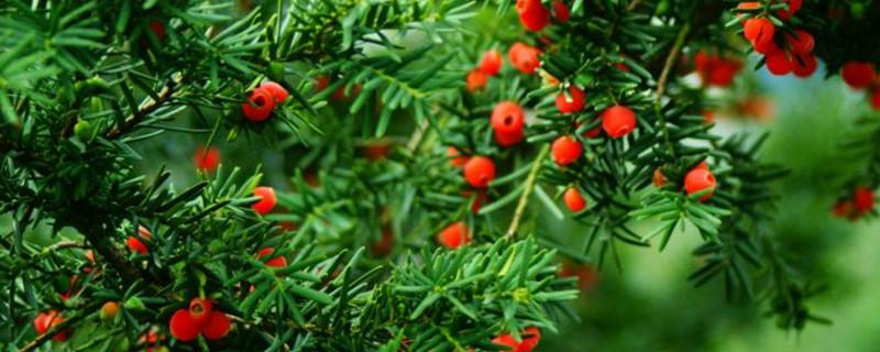 红豆杉黄叶是什么原因