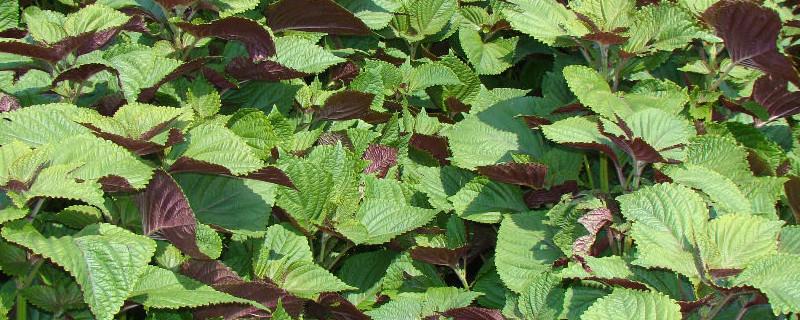 盆栽紫苏只能活一年么