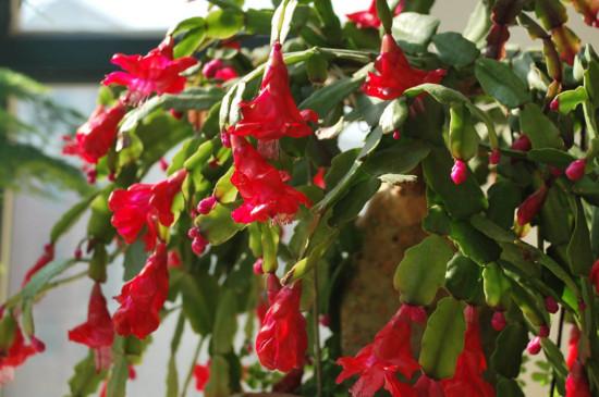 花卉蟹爪蘭的養護方法