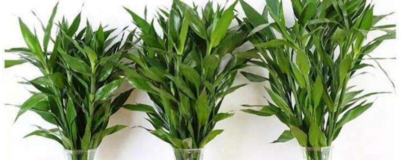 富贵竹的叶子下垂