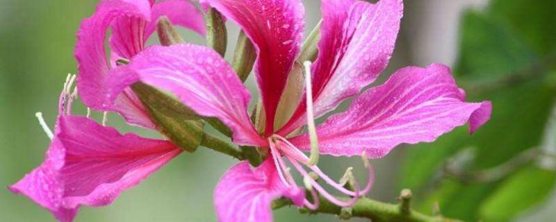 代表香港的花