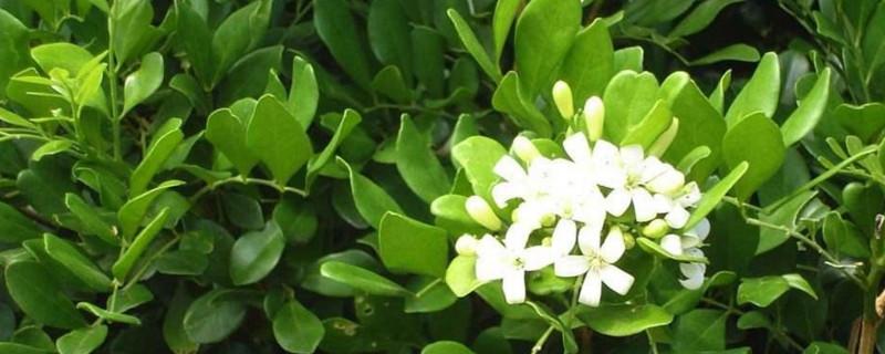 云香花是什么花
