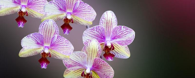 兰花有小飞虫用什么药