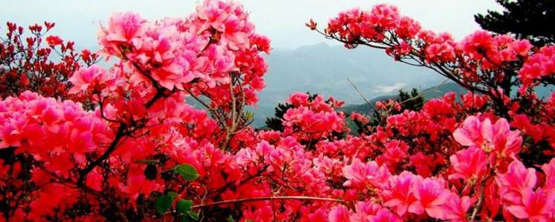 最名贵杜鹃花品种