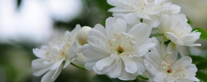 木香花不开花的原因