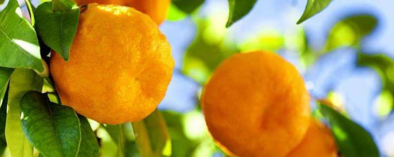 柑橘红蜘蛛用什么药最有效