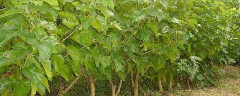 桑树病害的种类