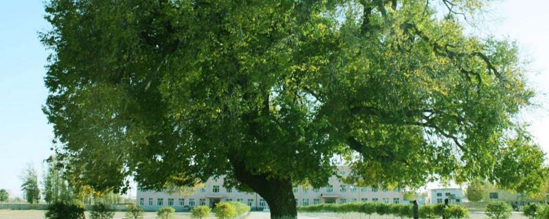 榆树什么季节修剪
