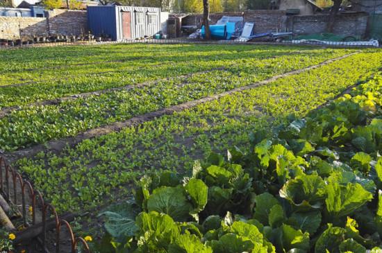 菜农种菜的秘诀