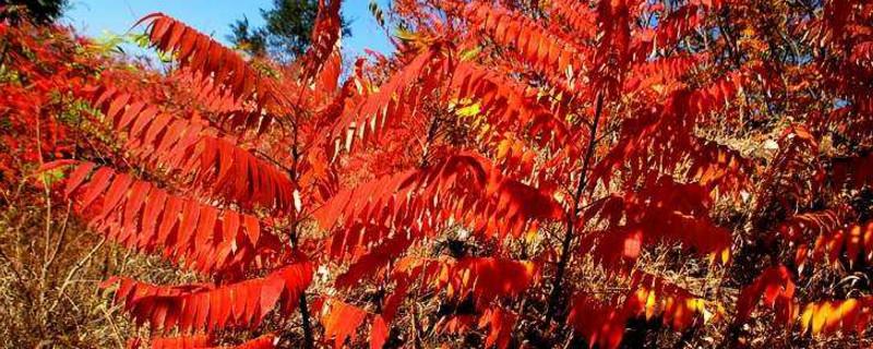 火炬树嫩芽能吃吗