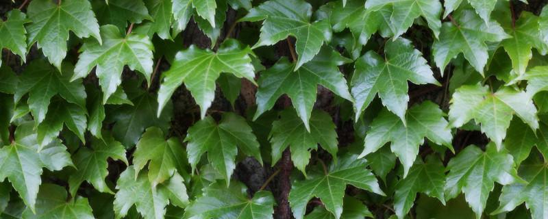 垂吊植物有哪些品种