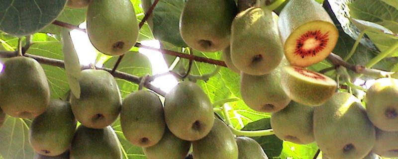 猕猴桃是碱性水果,能调节人体酸碱值,缓解高血糖、胆固醇高等