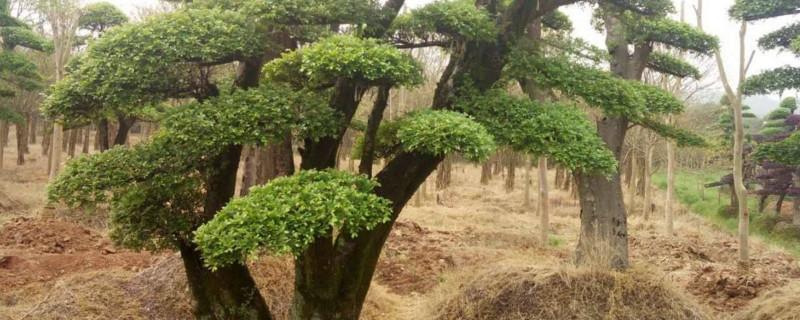 怎样判定盆景榆树死了