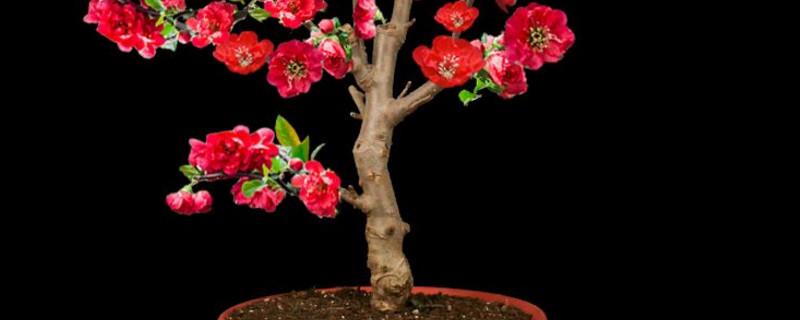 海棠老桩什么时间发芽