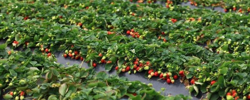 草莓每年都要重新种吗