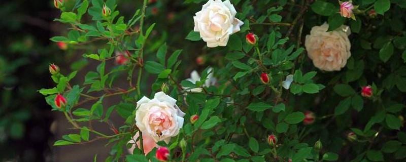 蔷薇花扦插技术和时间