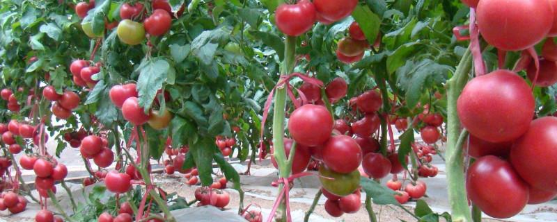 西红柿需要搭架子吗