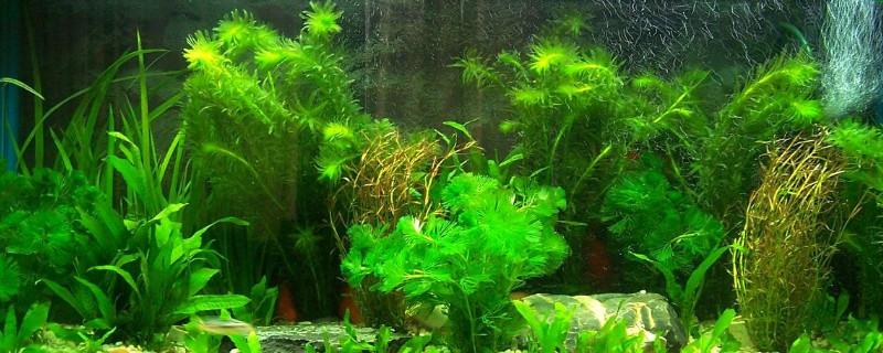 蜈蚣水草怎么繁殖