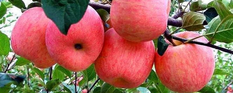 苹果树打什么药