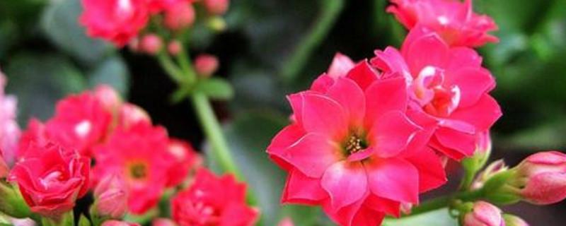 长寿花的休眠期是几月