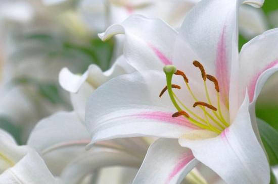 百合花怎么用矮壮素