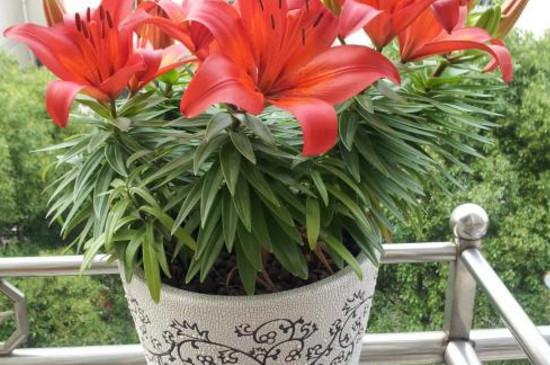 种百合花要多深的花盆