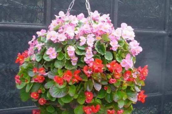 四季海棠花能养几年