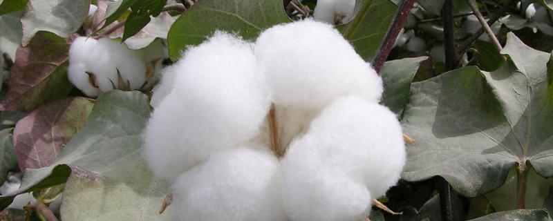 七星瓢虫会捉棉花什么上的害虫