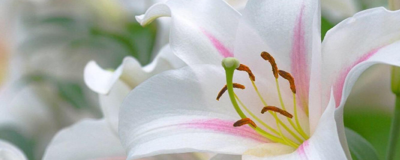如何让百合花长得矮壮