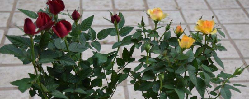 刚买的钻石玫瑰怎么养活