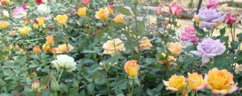 玫瑰花施肥步骤