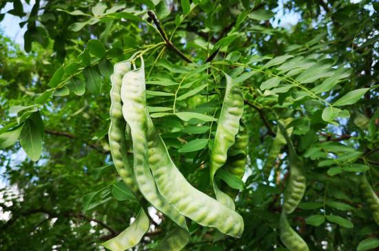 为何还有很多农村人还在种植皂角树