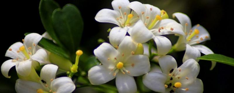 九里香一年开几次花
