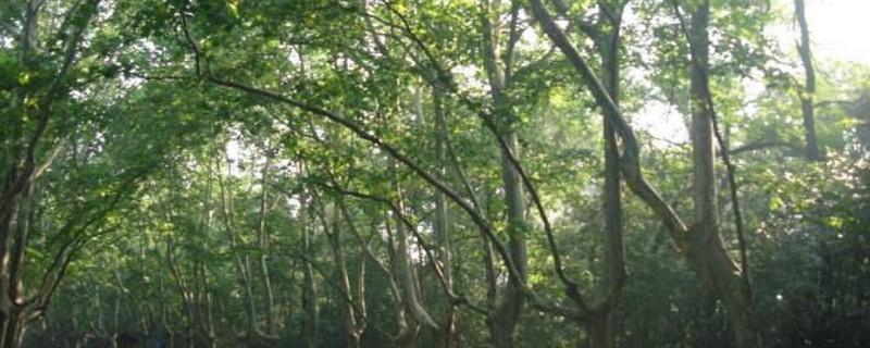 南京為什么種滿梧桐樹