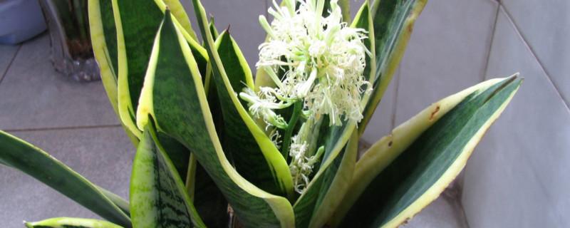 虎尾兰开花吗