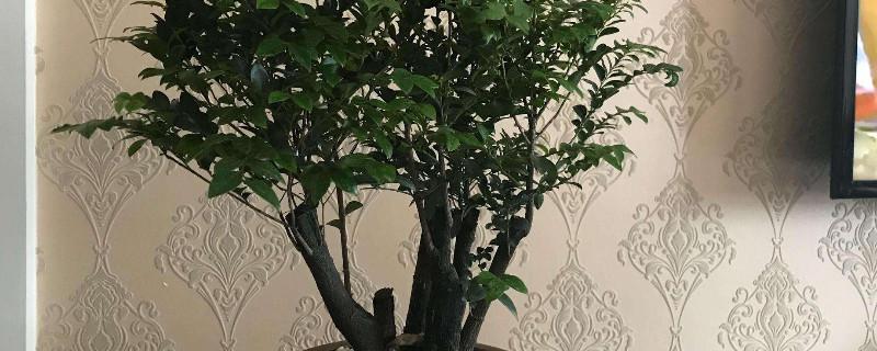 小叶紫檀树长什么样子