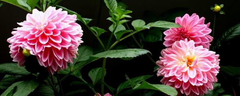 天麻花与大丽花的区别