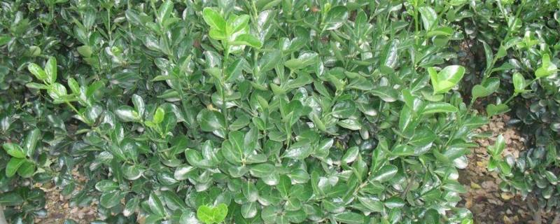 冬青的种植管理