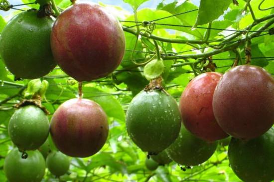 百香果在树上变皱了