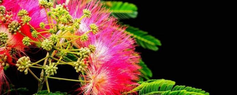 合欢树种植于哪个朝代