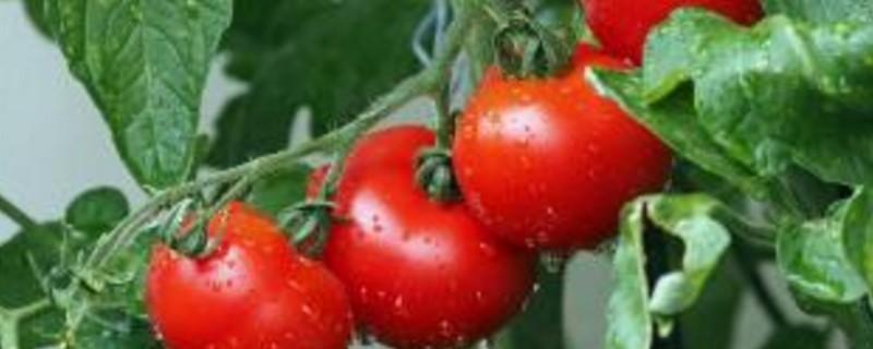 西红柿挂果后怎么管理