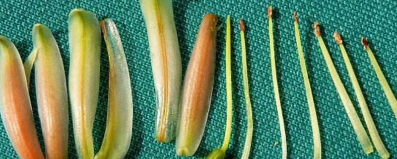 解剖花的顺序