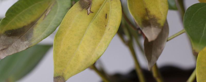 平安树叶子发黄掉落是怎么回