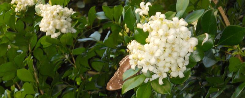 九里香几年能开花