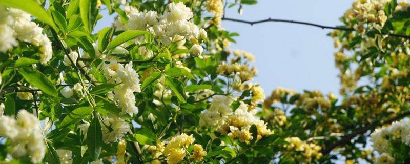木香树产地