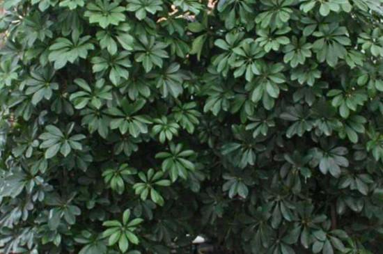 鸭掌木怎么养才旺盛