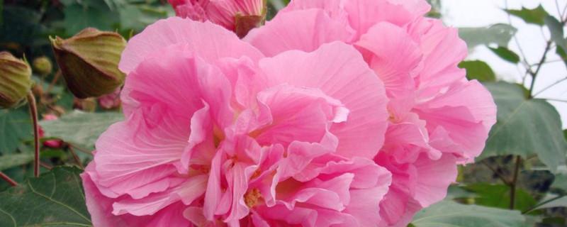 芙蓉花要开花时应该注意什么