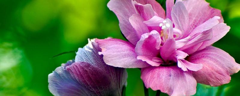 木槿花的养法